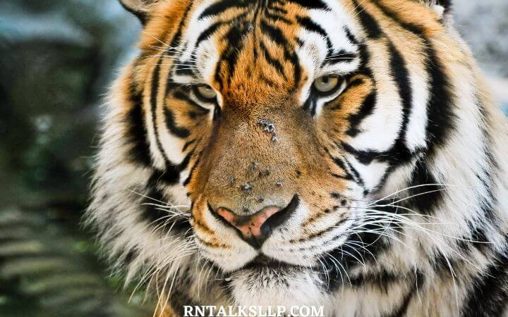 World Tiger Day Quiz | International Tiger Day Quiz | How Much Do You Know About Tigers